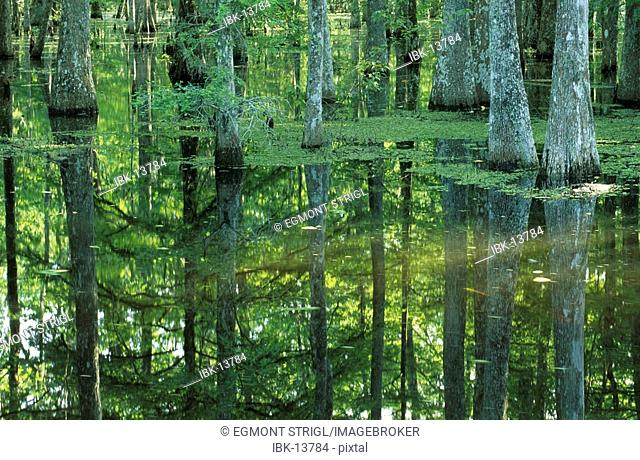 Bald cypresses in a bayou of the Atchafalaya swamp or basin