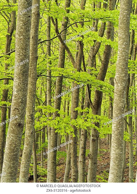 Beech forest (Fagus sylvatica) at Font dels Llops fountain site, Matagalls peak surroundings. Spring time at Montseny Natural Park