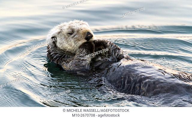 Sea Otter in Moss Landing, California, USA