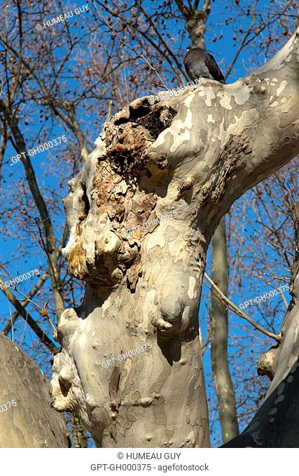 CANKER STAIN, SICK PLANE TREE, CERATOCYSTIS PLATANI DISEASE, SOUTHERN FRANCE, AIGUES-MORTES (30), LANGUEDOC ROUSSILLON, FRANCE