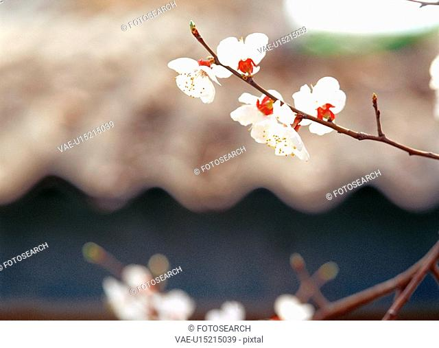 cherryblossoms, flower, plants, plant, film