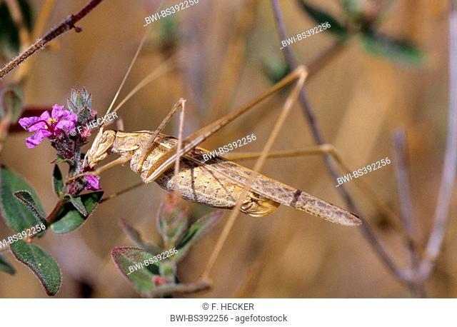 Lily Bush-Cricket (Tylopsis lilifolia), female
