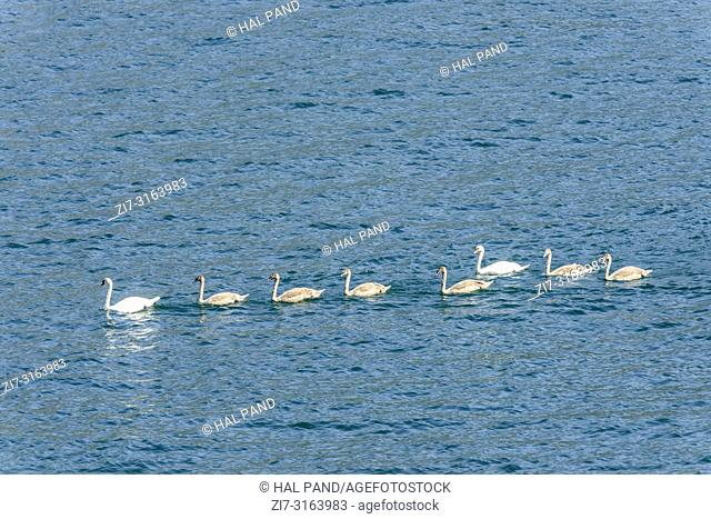 a family of eight swans floats in row on waters of Como lake, shot in bright fall light at Brienno, Como, Italy
