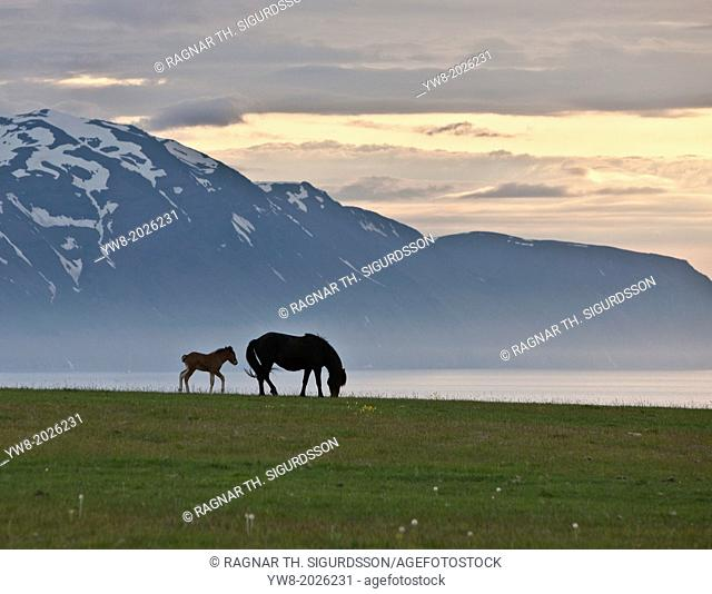 Icelandic Horses under the midnight sun, Iceland