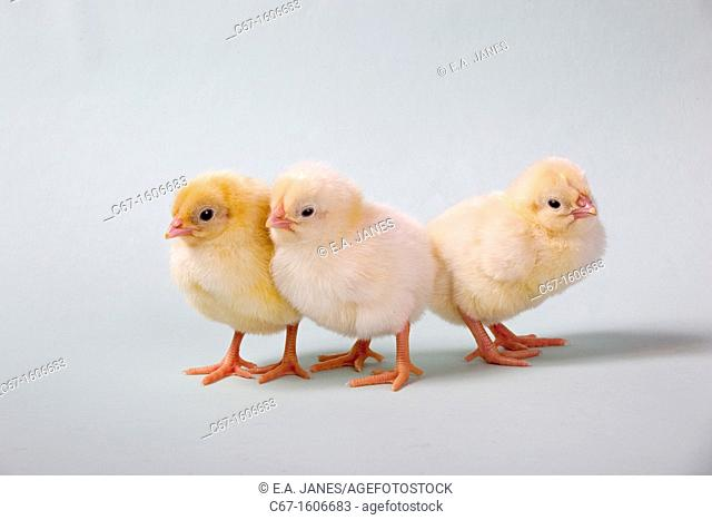 newly hatched Dayold Chicks three in a row