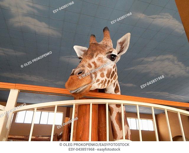Giraffe indoor head and foot details