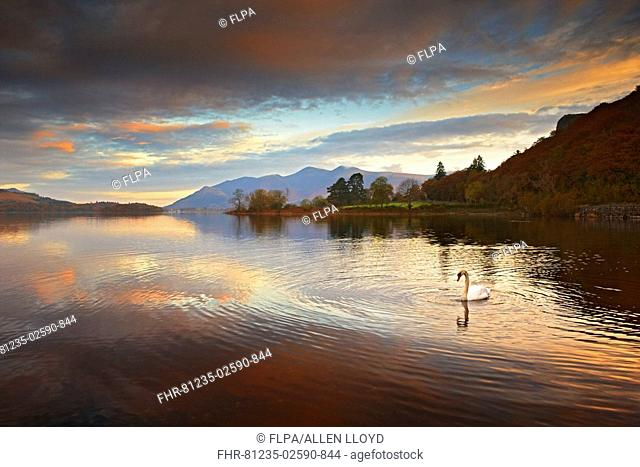 View of lake with Mute Swan Cygnus olor at dawn, Skiddaw in background, Derwent Water, Lake District N P , Cumbria, England, autumn
