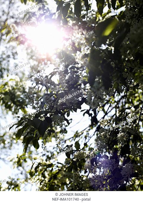 Sun shining through flowering branches