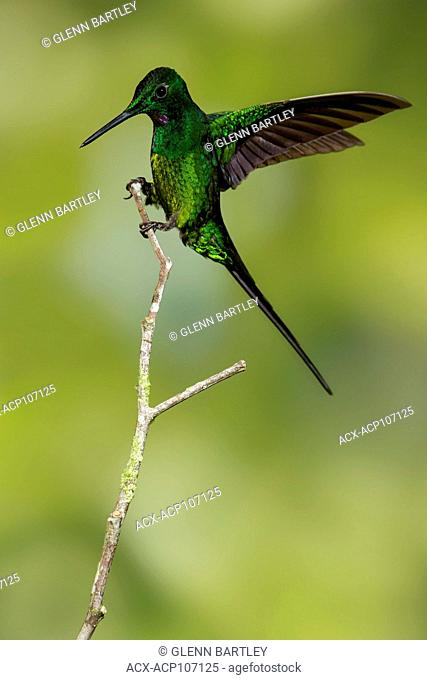 Empress Brilliant (Heliodoxa imperatrix) perched on a branch in Colombia