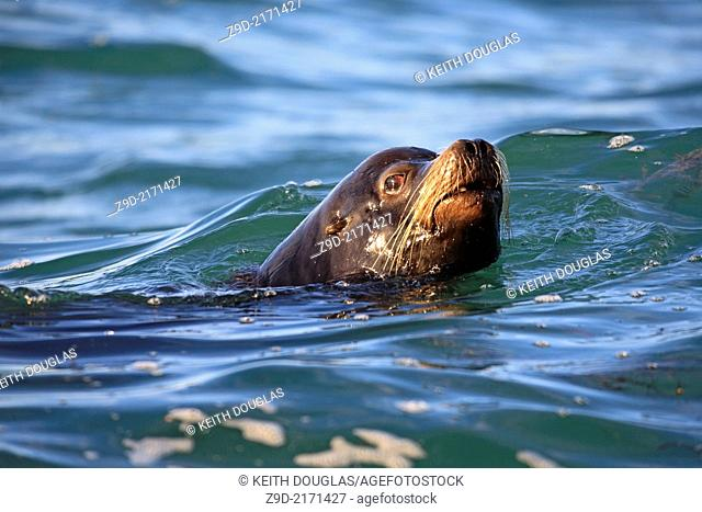 California Sea Lion (Zalophus californianus) , near Nanaimo, Vancouver Island, BC