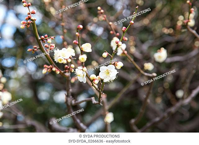 close up of beautiful sakura tree blossoms