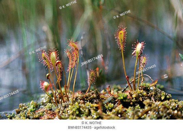 great sundew, English sundew (Drosera anglica), habit