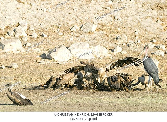 Cape Griffon or Cape Vulture (Gyps coprotheres) and Marabou Stork (Leptoptilos crumeniferus) at a animal cadaver in the dry riverbed, Boteti River, Khumaga