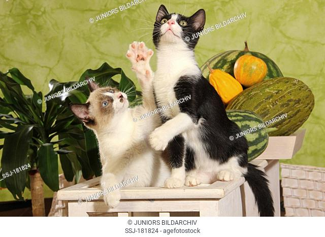 Domestic cat. Two kittens (4 month old) sitting next to each other on a stool while looking up