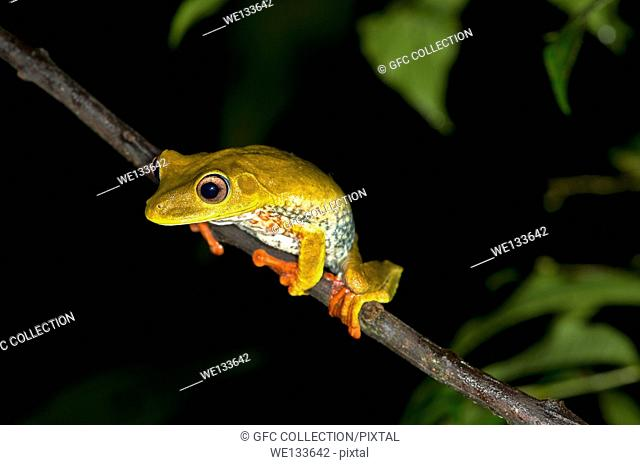 Map tree frog (Hypsiboas geographicus), in habitat, Hylidae family, Tambopata Nature Reserve, Madre de Dios region, Peru