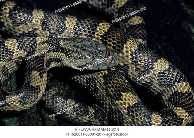 Juvenile texas rat snake Stock Photos and Images   age fotostock