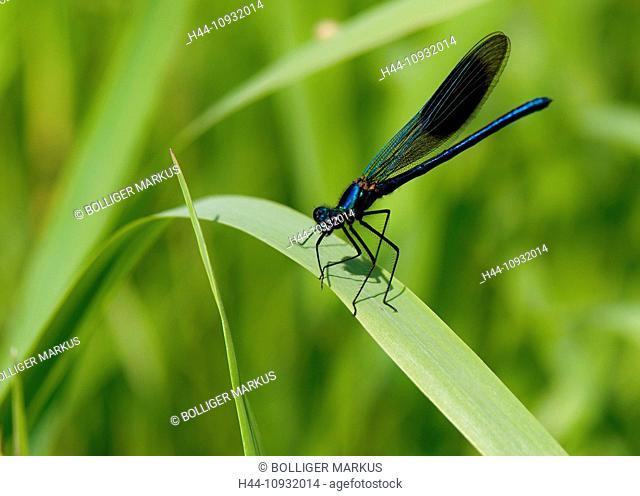 Creek, Calopteryx splendens, fauna, riverside, banded demoiselle, Hasplen, insect, Invertebrata, canton, Zurich, dragonfly, Lorze, Maschwanden, nature