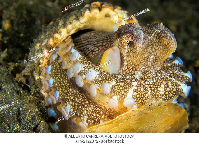 Coconut Octopus, Amphioctopus marginatus, Lembeh, North Sulawesi, Indonesia, Asia