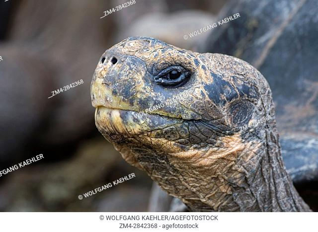 Close-up of a Giant tortoise at the Charles Darwin Research Station in Puerto Ayora on Santa Cruz Island (Indefatigable) in the Galapagos Islands, Ecuador