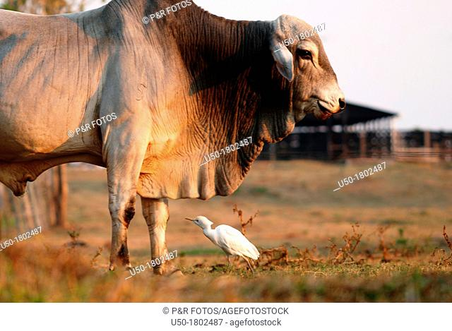 Cattle egret Bubulcus ibis feeding on insects beside a bull