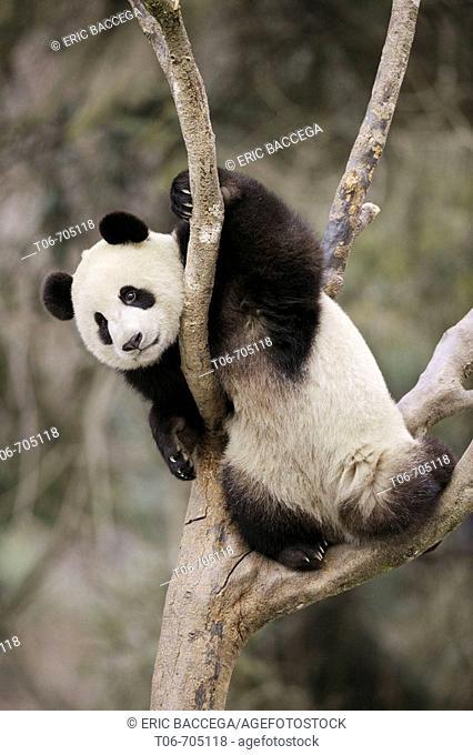 Subadult giant panda climbing in a tree (Ailuropoda melanoleuca) Wolong Nature Reserve, China