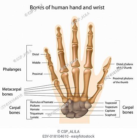 Bones of the hand, eps8