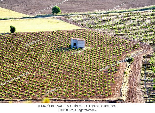 Vineyards in The Batan. La Guardia. Toledo. Castilla la Mancha. Spain. Europe