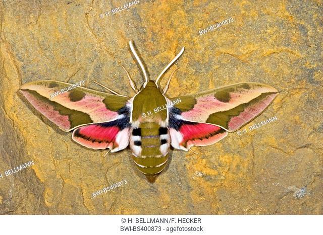 spurge hawkmoth (Hyles euphorbiae, Celerio euphorbiae), on bark, Germany