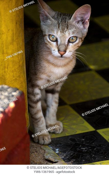 Young cat hiding behind a bamboo chair in Varkala, southern India