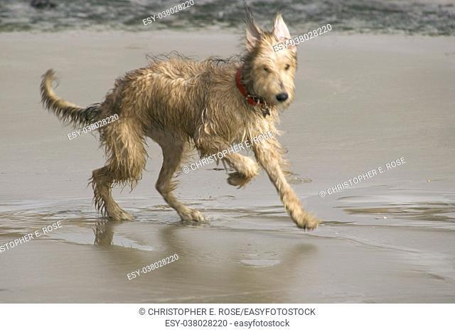 Pet Lurcher puppy dog bitch playing on beach