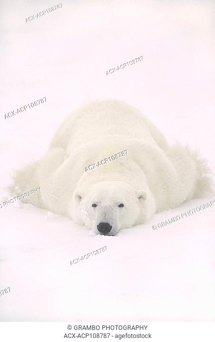 Polar bear, Ursus maritimus, lies on stomach in snow, near Churchill, Manitoba, Canada