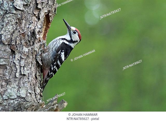 White-backed woodpecker perching on tree