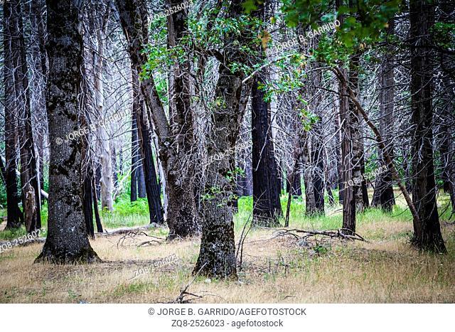 View through the trees, Yosemite Valley, California