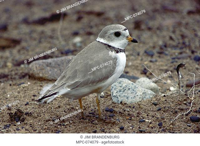 PIPING PLOVER (Charadrius melodus)  ON NEST OF EGGS ON GROUND, NORTH AMERICA