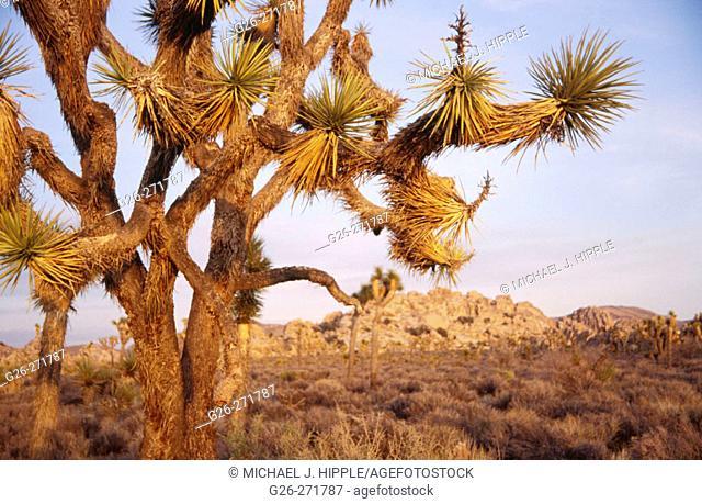 Joshua Tree (Yucca brevifolia). Joshua Tree National Park. California. USA