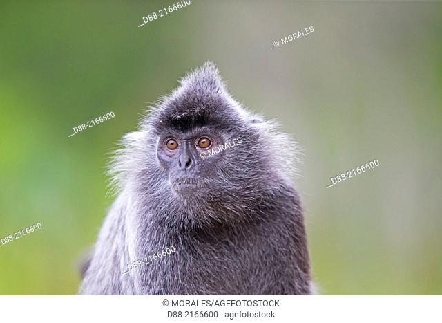 Asia,Borneo,Malaysia,Sabah,Labuk Bay,Silvery lutung or silvered leaf monkey or the silvery langur or Silver leaf monkey (Trachypithecus cristatus),adult