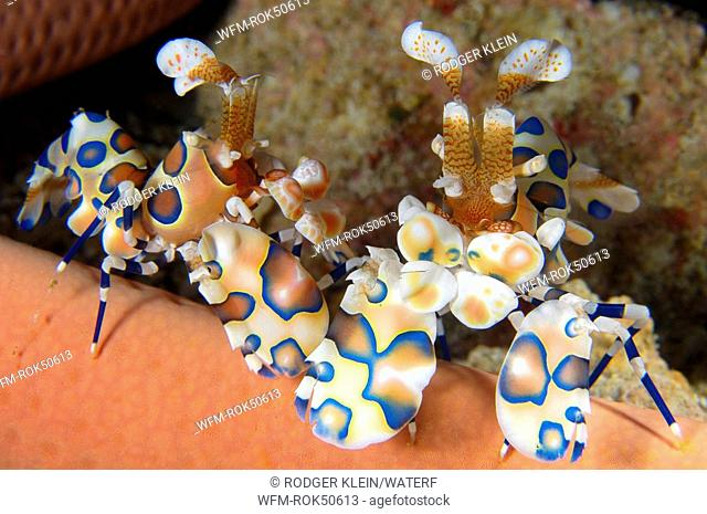 pair of harlequin shrimp, Hymenocera elegans, Andaman Sea, Myanmar Burma