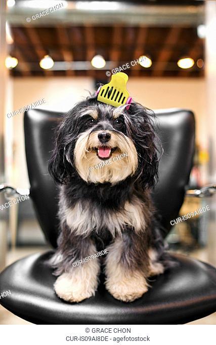 Havanese dog in hair salon