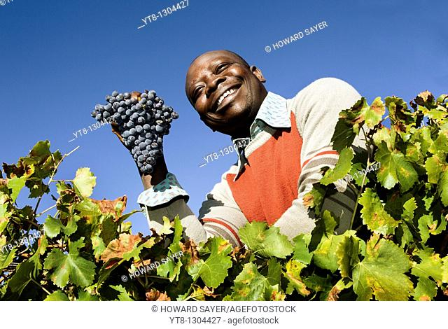 African man holding a bunch of grapes that he has picked from a vineyard in the Priorat wine region of Catalonia, Spain