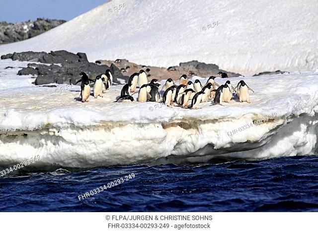 Adelie Penguin (Pygoscelis adeliae) adults, group standing on ice, Brown Bluff, Antarctic Peninsula, Antarctica, December