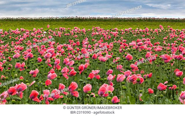Field of poppies, Armschlag, Waldviertel region, Lower Austria, Austria, Europe
