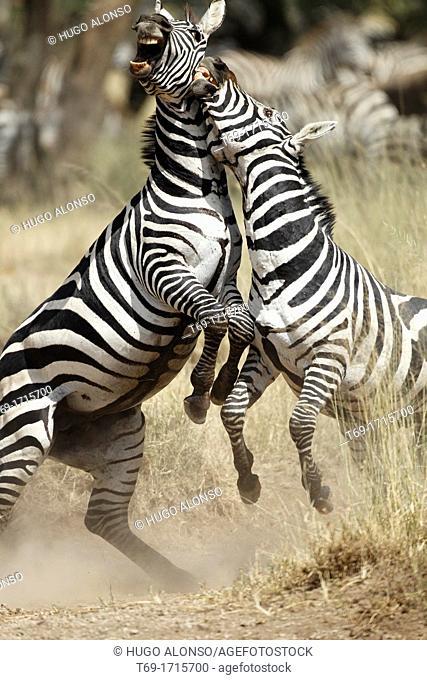 Males of Grévy's zebra fighting during the rut. Equus zebra