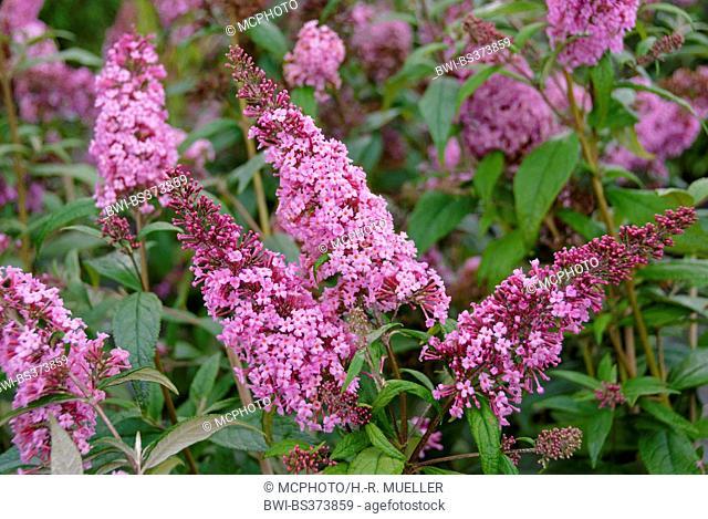 Butterfly bush, Violet butterfly bush, Summer lilac, Butterfly-bush, Orange eye (Buddleja davidii 'Reve de Papillon', Buddleja davidii Reve de Papillon)