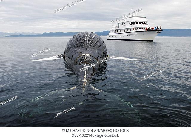 Dead female humpback whale Megaptera novaeangliae calf encountered in Frederick Sound, Southeast Alaska  56 58 01' N 134 27 2' W  Estimated length 25 feet...