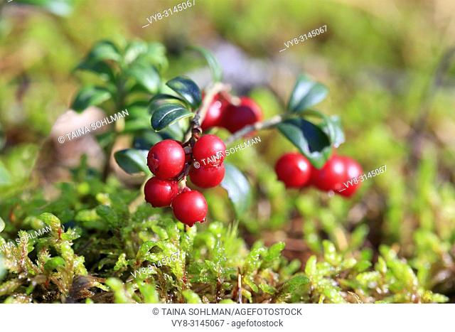 Close up of red Lingonberries or Cowberries, Vaccinium vitis-idaea, growing on forest floor with autumnal raindrops. Shallow dof