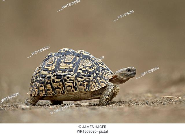 Leopard Tortoise (Geochelone pardalis), Kruger National Park, South Africa, Africa