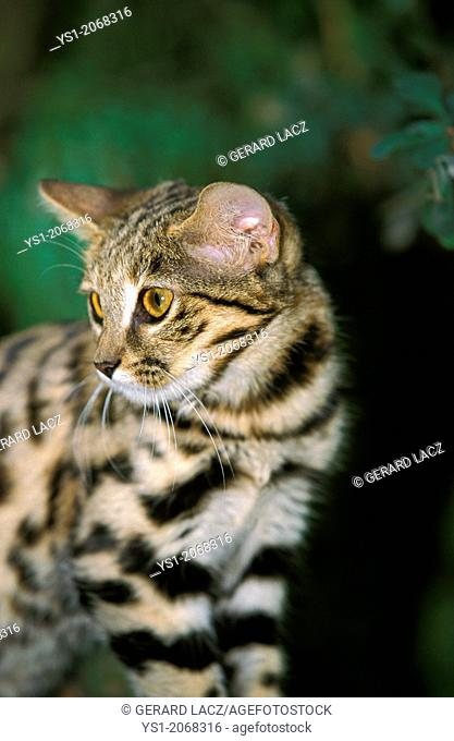 Black-Footed Cat, felis nigripes, Adult, South Africa