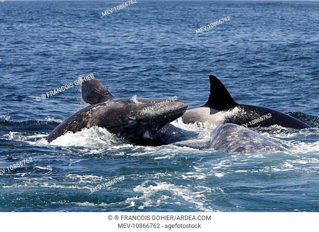 Killer whales / Orcas - A pod of Transient type killer whales attacking a Grey whale mother and calf. Calf pushed upwards rammed by attacker from below