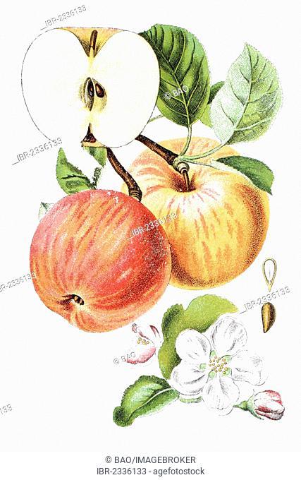 Apple (Malus), historical chromolithography, around 1796