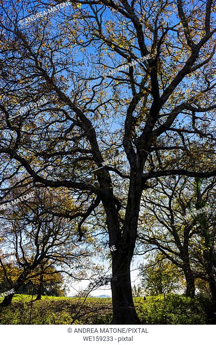 Tree branches. Tusculum park. Frascati Italy
